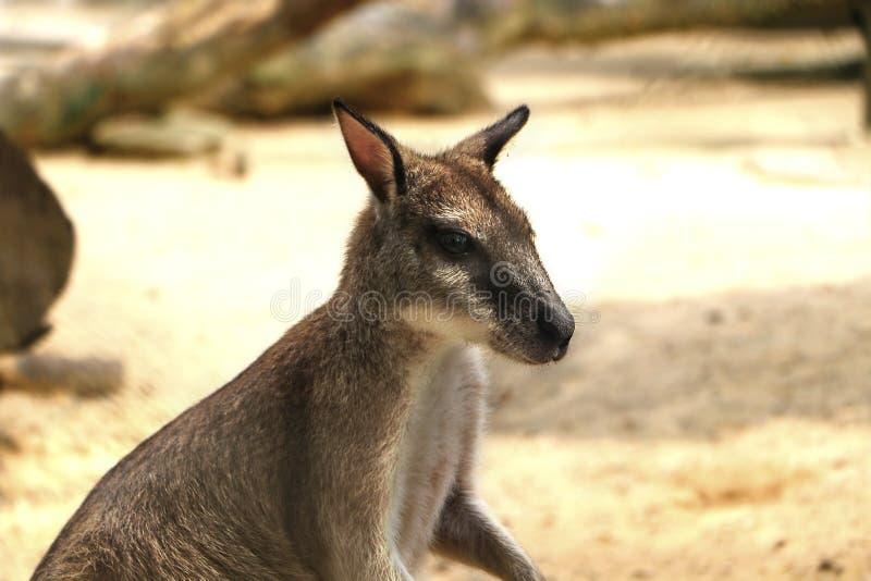 Τα ευκίνητα wallaby agilis Macropus γνωστά επίσης ως αμμώδης wallaby στοκ εικόνα με δικαίωμα ελεύθερης χρήσης