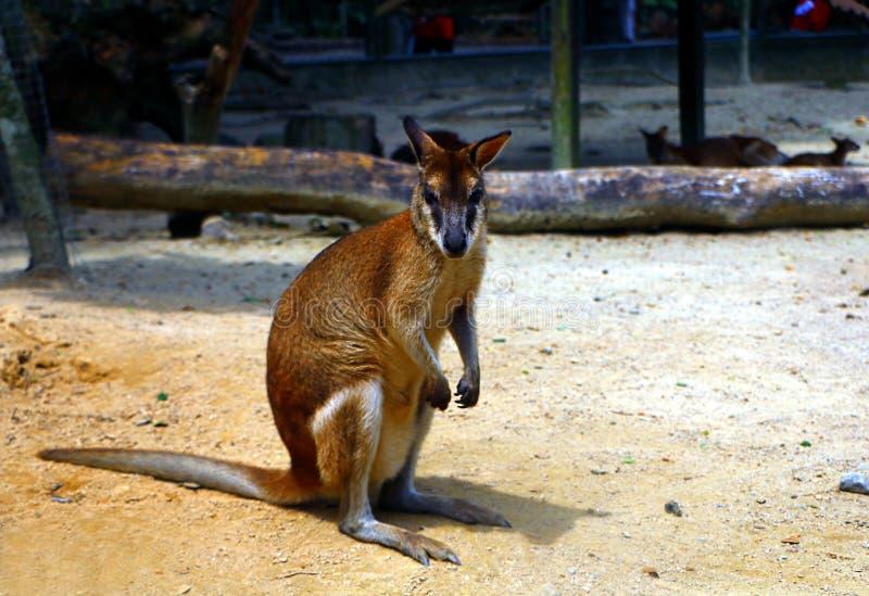 Τα ευκίνητα wallaby agilis Macropus γνωστά επίσης ως αμμώδης wallaby στοκ φωτογραφία με δικαίωμα ελεύθερης χρήσης