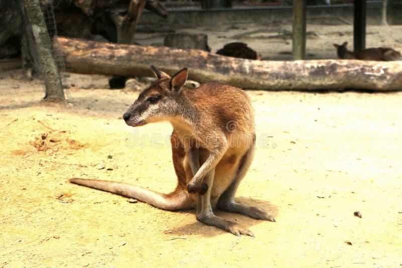 Τα ευκίνητα wallaby agilis Macropus γνωστά επίσης ως αμμώδης wallaby στοκ φωτογραφία