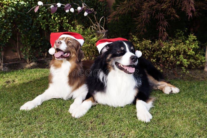 Τα ευτυχή Χριστούγεννα καλής χρονιάς ζεύγους σκυλιών γιορτάζουν στοκ φωτογραφία με δικαίωμα ελεύθερης χρήσης