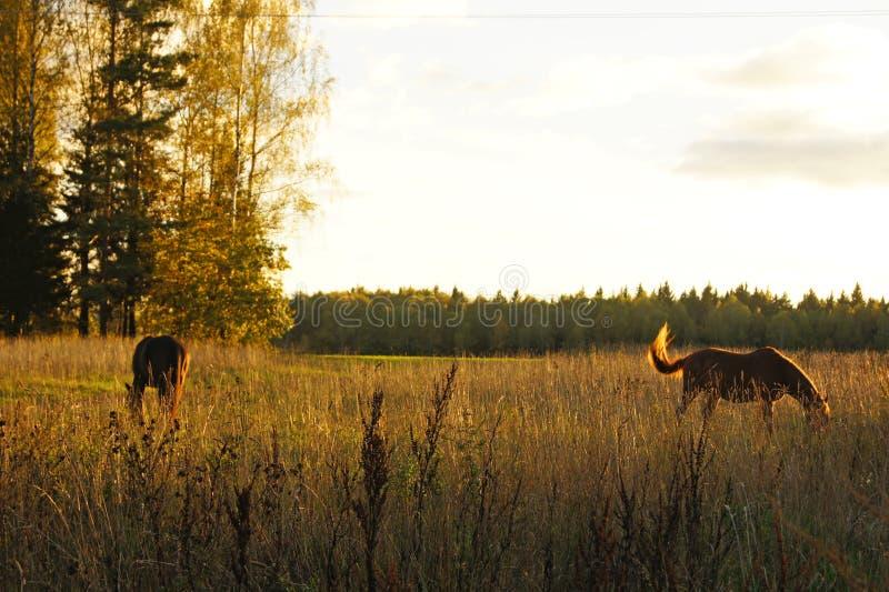 Τα ελεύθερα κυμαινόμενα άλογα στον κίτρινο τομέα φθινοπώρου κάτω από τον ήλιο λάμπουν το βράδυ κάνετε το σημάδι της Ρωσίας περιοχ στοκ εικόνα με δικαίωμα ελεύθερης χρήσης