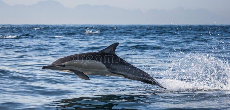 Τα δελφίνια πηδούν έξω με υψηλή ταχύτητα από το νερό διάσημα βουνά kanonkop της Αφρικής κοντά στο γραφικό αμπελώνα νότιων άνοιξη  στοκ φωτογραφίες με δικαίωμα ελεύθερης χρήσης
