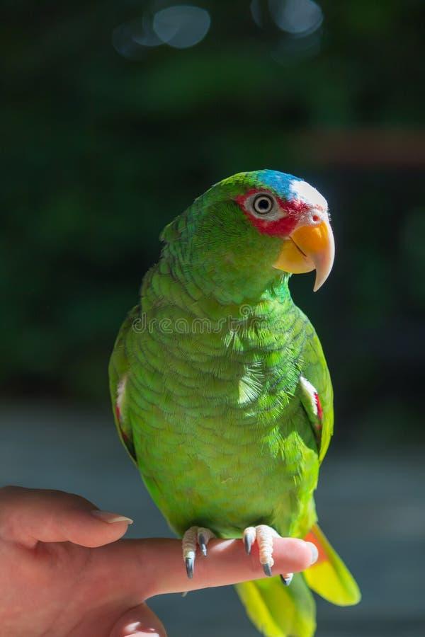 Τα ζωηρόχρωμα άγρια πουλιά διασώζονται από τους παράνομους ιδιοκτήτες κατοικίδιων ζώων στοκ εικόνα