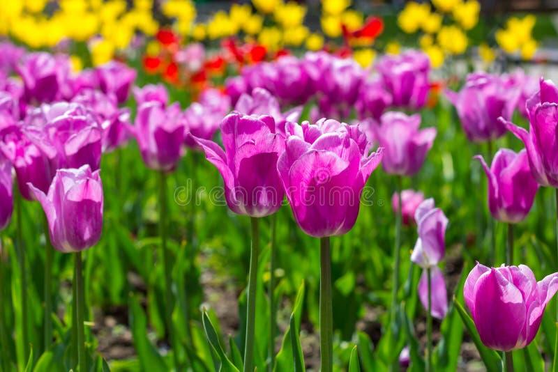 Τα ζωηρόχρωμα λουλούδια τουλιπών στο α στο πάρκο πόλεων στοκ εικόνες με δικαίωμα ελεύθερης χρήσης