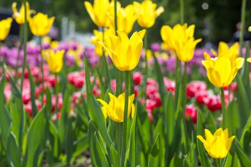 Τα ζωηρόχρωμα λουλούδια τουλιπών στο α στο πάρκο πόλεων στοκ εικόνα με δικαίωμα ελεύθερης χρήσης
