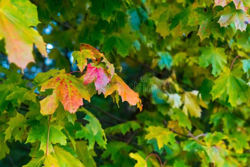 Τα ζωηρόχρωμα φύλλα σφενδάμου πράσινα με την κόκκινη άκρη στην ξύλινη βάση υποβάθρου σχεδιάζουν τη φρέσκια ηλιόλουστη σύσταση στοκ εικόνες