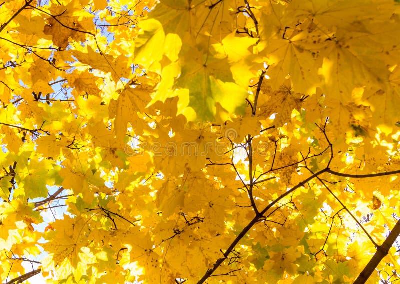 Τα ηλιόλουστα κίτρινα φωτεινά μεγάλα φύλλα του σχεδίου φθινοπώρου σφενδάμνου σε ένα υπόβαθρο της βάσης ουρανού ανάβουν το σχέδιο στοκ φωτογραφία με δικαίωμα ελεύθερης χρήσης