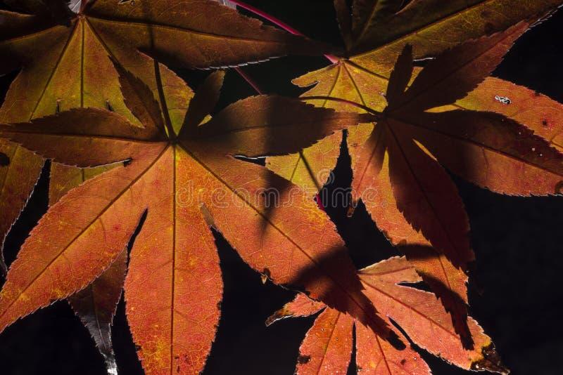 Τα ιαπωνικά φύλλα δέντρων σφενδάμνου γυρίζουν το χρώμα κόκκινο και πορτοκαλί την πτώση ή το φθινόπωρο που απομονώνεται στο Μαύρο  στοκ εικόνα με δικαίωμα ελεύθερης χρήσης