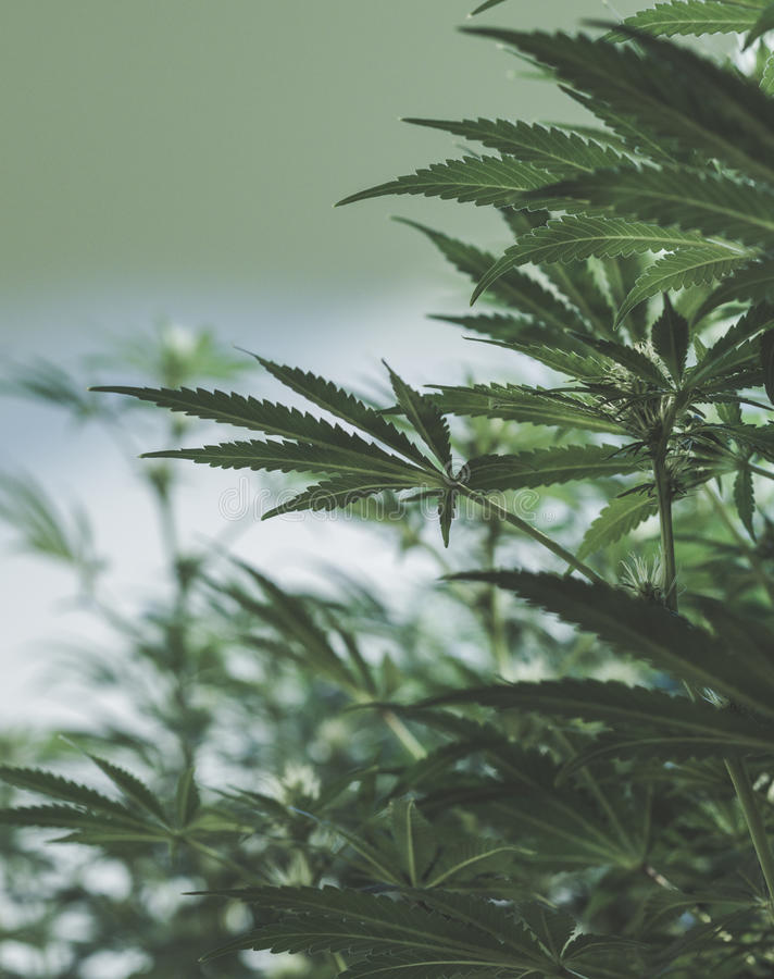 Τα ιατρικά φυτά μαριχουάνα αυξάνονται op στοκ εικόνες