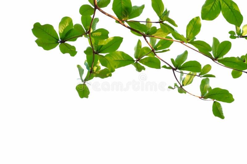 Τα ινδικά φύλλα αμυγδαλιών με τους κλάδους στο λευκό απομόνωσαν το υπόβαθρο για το πράσινο σκηνικό φυλλώματος στοκ φωτογραφία
