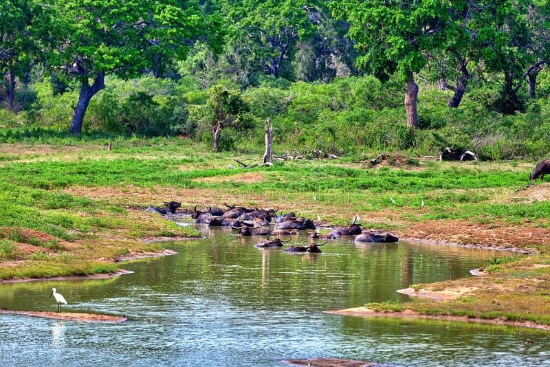 Τα ινδικά Buffalo νερού με τους λευκούς σαν το χιόνι ερωδιούς λούζουν σε μια λίμνη στο Yala Nationalpark στοκ εικόνες με δικαίωμα ελεύθερης χρήσης