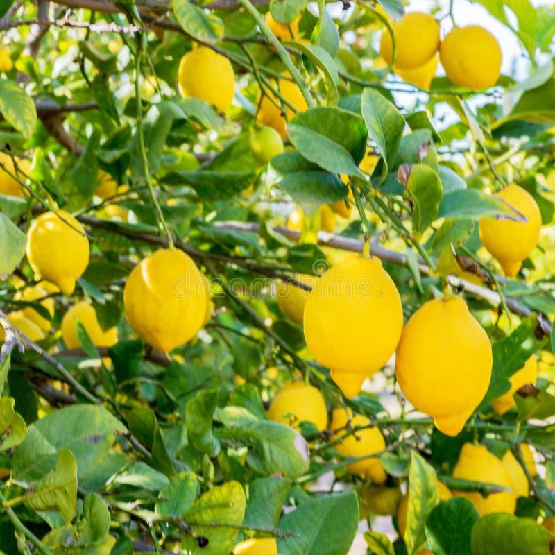 Τα ισπανικά λεμόνια κλείνουν επάνω στοκ εικόνες
