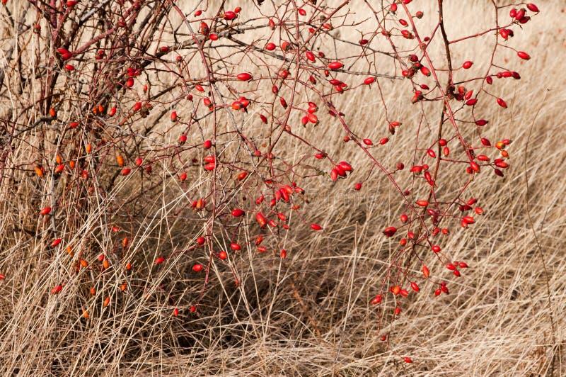 τα ισχία Rosa αυξήθηκαν rubiginosa πιό sweetbrier στοκ εικόνες