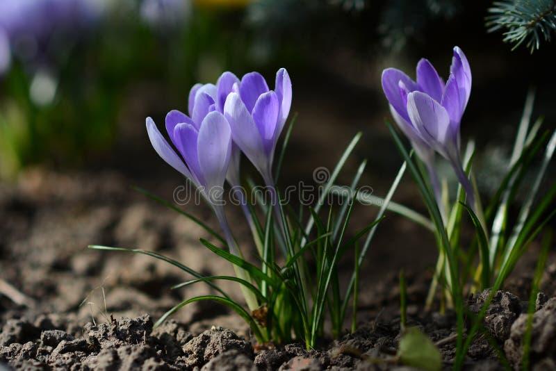 Τα ιώδη λουλούδια καλλιεργούν την άνοιξη Ηλιόλουστη ημέρα άνοιξης στοκ εικόνες με δικαίωμα ελεύθερης χρήσης