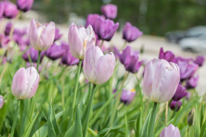 Τα ιώδη λουλούδια τουλιπών επάνω στο πάρκο πόλεων στοκ εικόνες