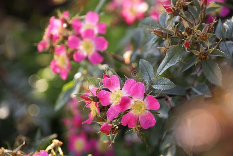 Τα ιώδη λουλούδια των άγρια περιοχών αυξήθηκαν στοκ εικόνα με δικαίωμα ελεύθερης χρήσης