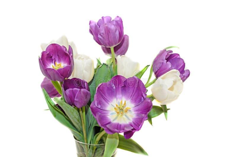 Τα ιώδη και άσπρα λουλούδια ανθοδεσμών τουλιπών, κλείνουν επάνω απομονωμένος στοκ εικόνες