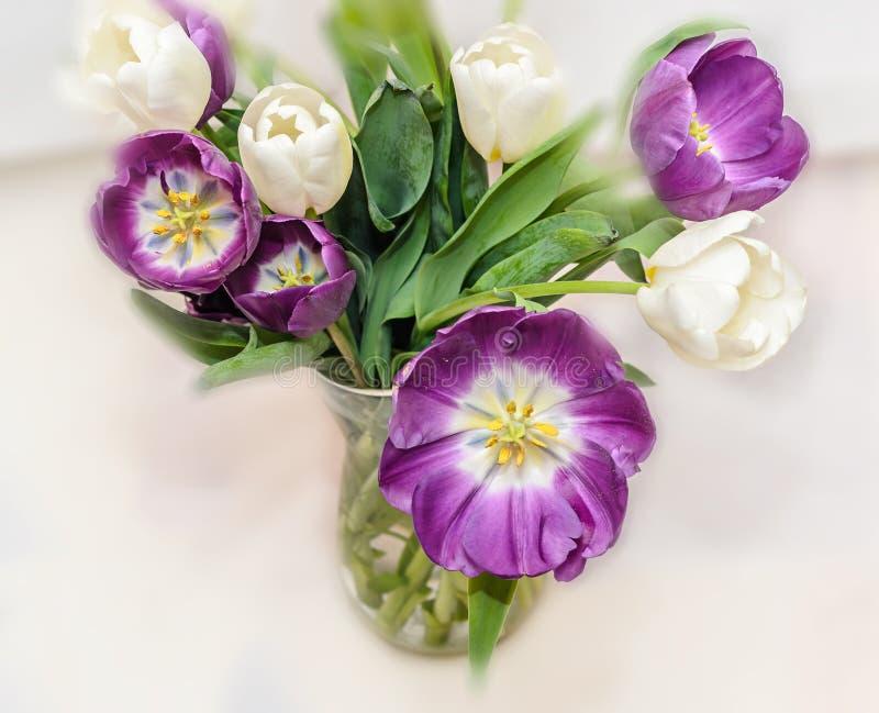Τα ιώδη και άσπρα λουλούδια ανθοδεσμών τουλιπών, κλείνουν επάνω στοκ φωτογραφία με δικαίωμα ελεύθερης χρήσης