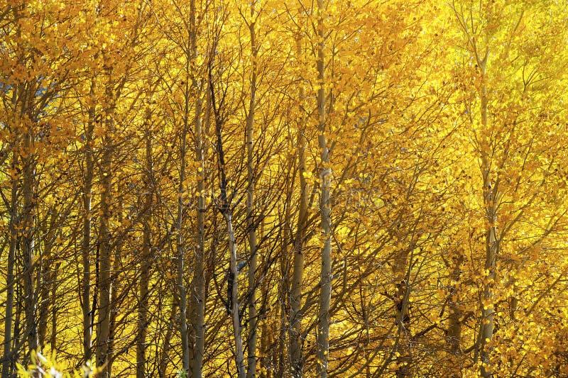 Τα κίτρινα δέντρα σημύδων φυλλώματος φ χαρακτηρίζουν τη μετατόπιση στις εποχές στην οροσειρά Νεβάδα στοκ φωτογραφίες
