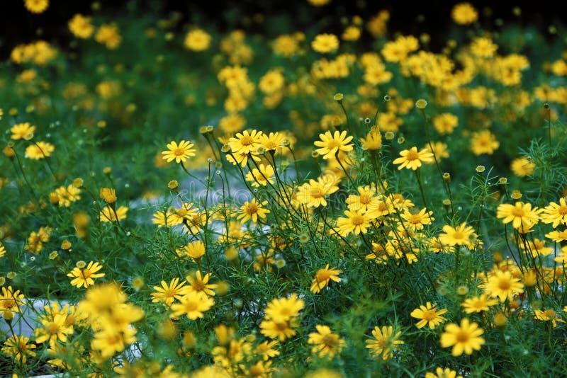Τα κίτρινα λουλούδια μαργαριτών ανθίζουν δονούμενος στο διακοσμητικό κήπο DA Lat στοκ εικόνα