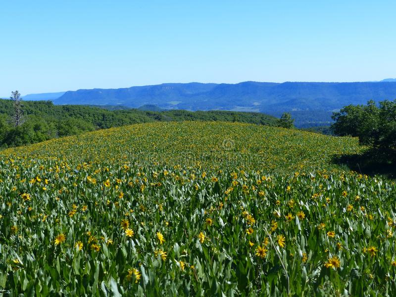 Τα κίτρινα λουλούδια τεντώνουν όσο κάποιο μπορεί να δει στοκ εικόνες με δικαίωμα ελεύθερης χρήσης