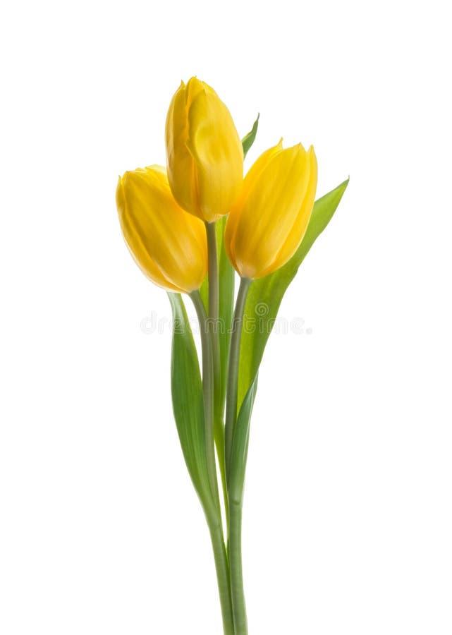 Τα κίτρινα λουλούδια τουλιπών απομόνωσαν το άσπρο υπόβαθρο χωρίς σκιά στοκ εικόνα