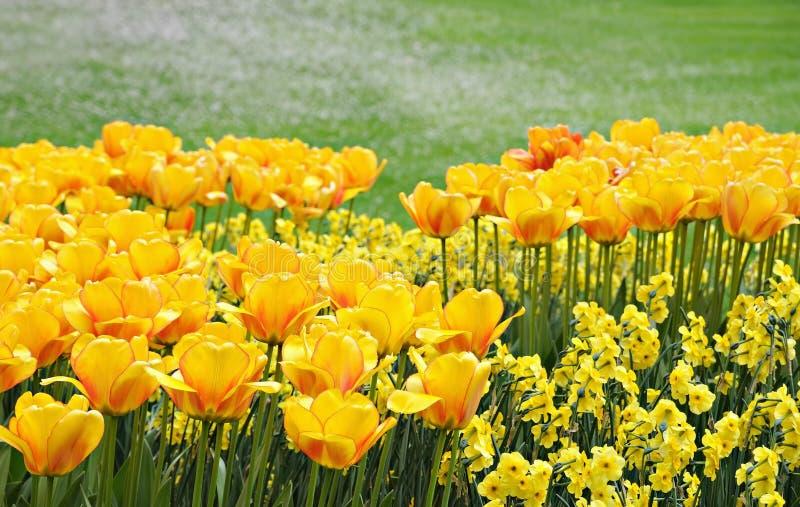Τα κίτρινα λουλούδια καλλιεργούν την άνοιξη στοκ εικόνες με δικαίωμα ελεύθερης χρήσης
