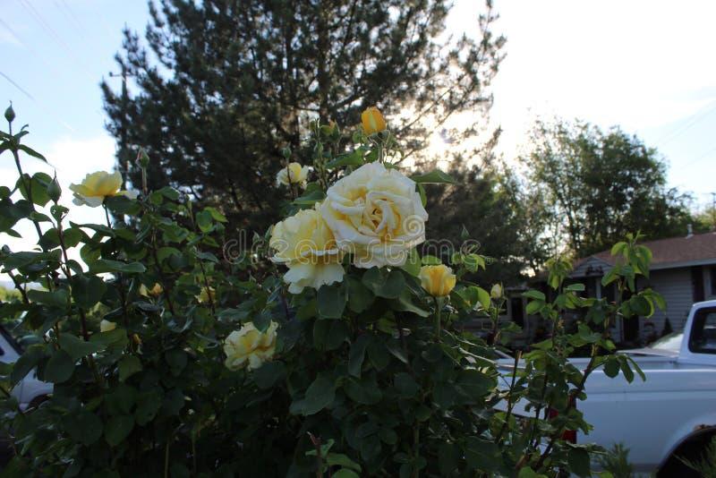 Τα κίτρινα τριαντάφυλλα κλείνουν στοκ εικόνα με δικαίωμα ελεύθερης χρήσης