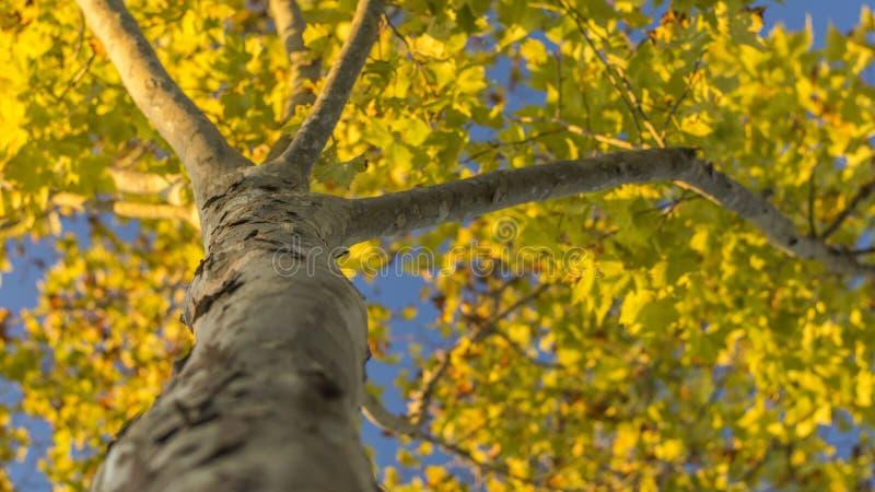 Τα κίτρινα φύλλα αναγγέλλουν την άφιξη του φθινοπώρου στοκ εικόνες