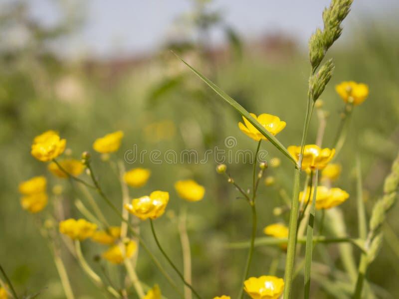 Τα κίτρινα wildflowers αυξάνονται στην πράσινη χλόη στοκ φωτογραφίες