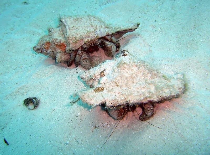 Τα καραϊβικά καβούρια ερημιτών διαβαίνουν το ωκεανό στοκ φωτογραφία
