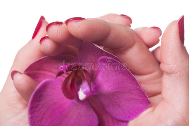 Τα καρφιά Manicured χαϊδεύουν τα σκοτεινά ρόδινα πεντάλια λουλουδιών στοκ εικόνες