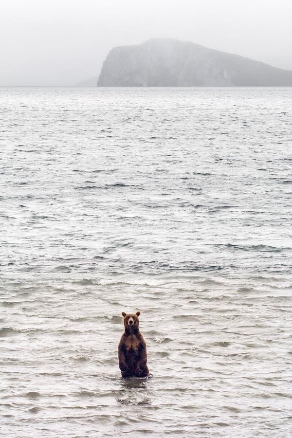 Τα καφετιά ψάρια αρκούδων στοκ φωτογραφίες