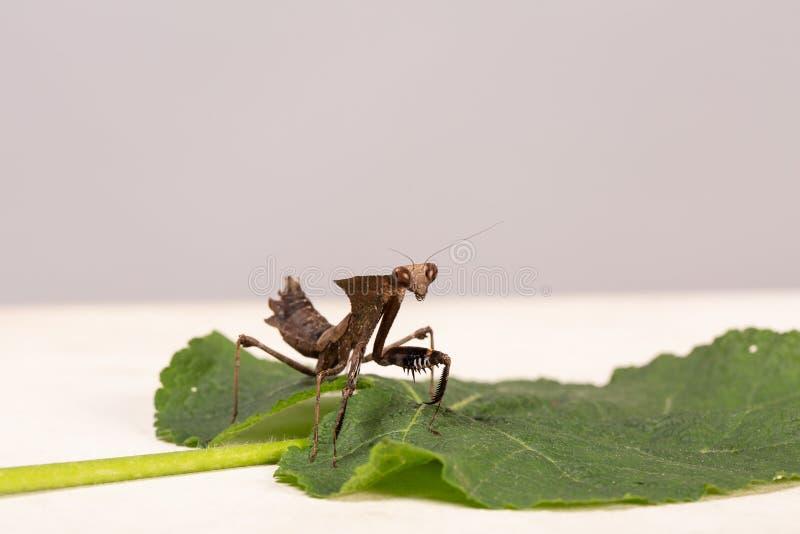 Τα καφετιά mantis επίκλησης ή mantid το πολύ στενό επάνω λατινικό religiosa mantis ονόματος εγκατέστησαν σε ένα φύλλο gerbera στοκ φωτογραφία με δικαίωμα ελεύθερης χρήσης
