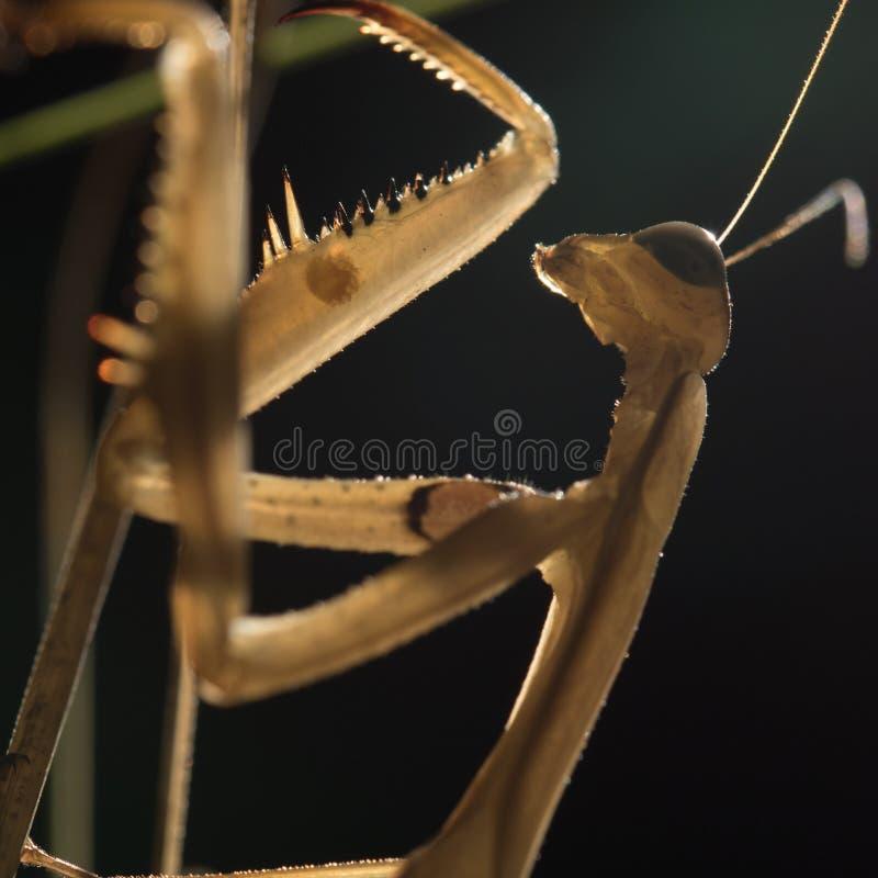 Τα καφετιά mantis στοκ εικόνες