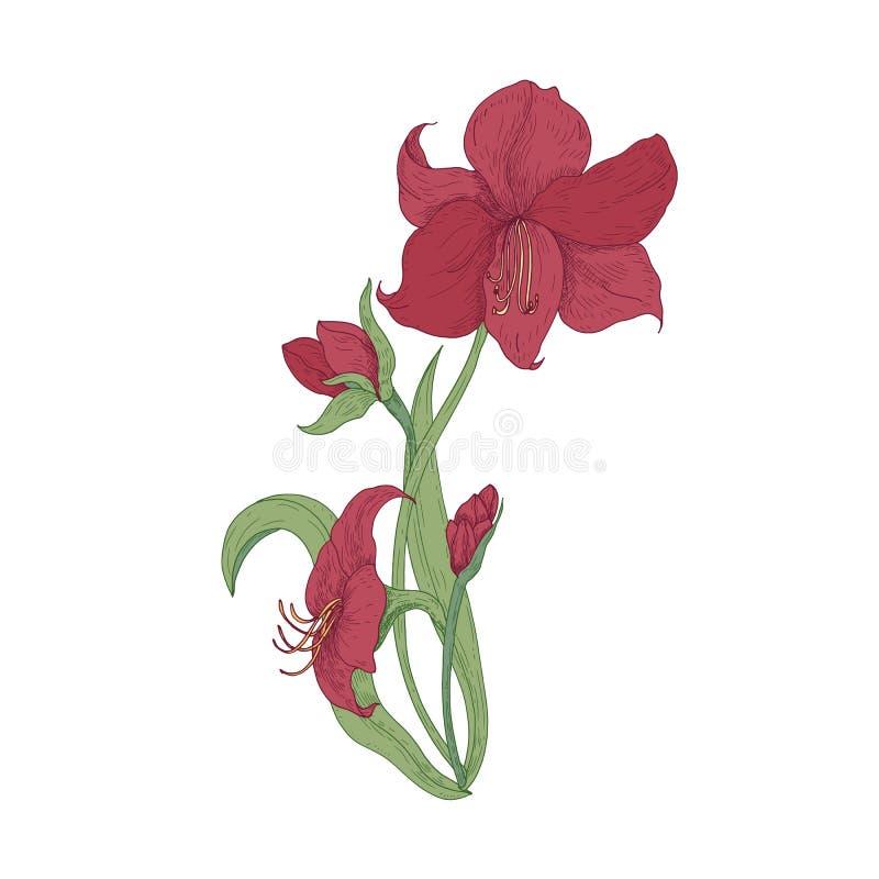 Τα κομψά ανθίζοντας κόκκινα λουλούδια, οι οφθαλμοί και τα φύλλα Amaryllis δίνουν επισυμένος την προσοχή στο άσπρο υπόβαθρο Λεπτομ απεικόνιση αποθεμάτων