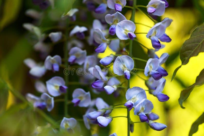 Τα κρεμώντας πορφυρά λουλούδια floribunda Wisteria καλλιεργούν την άνοιξη στοκ εικόνα με δικαίωμα ελεύθερης χρήσης