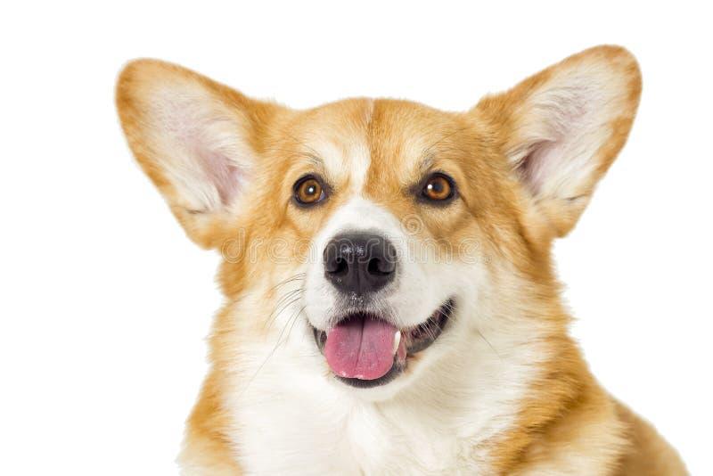 τα κυνήγια Λαμπραντόρ χλόης σκυλιών ανασκόπησης κάθονται το υγρό λευκό στοκ εικόνα