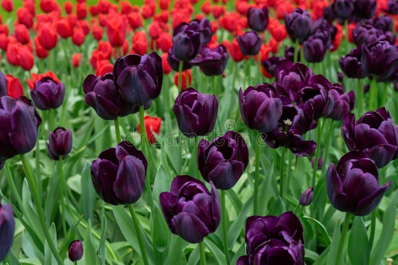 Τα κόκκινα και σκοτεινά πορφυρά λουλούδια τουλιπών καλλιεργούν την άνοιξη στοκ φωτογραφία