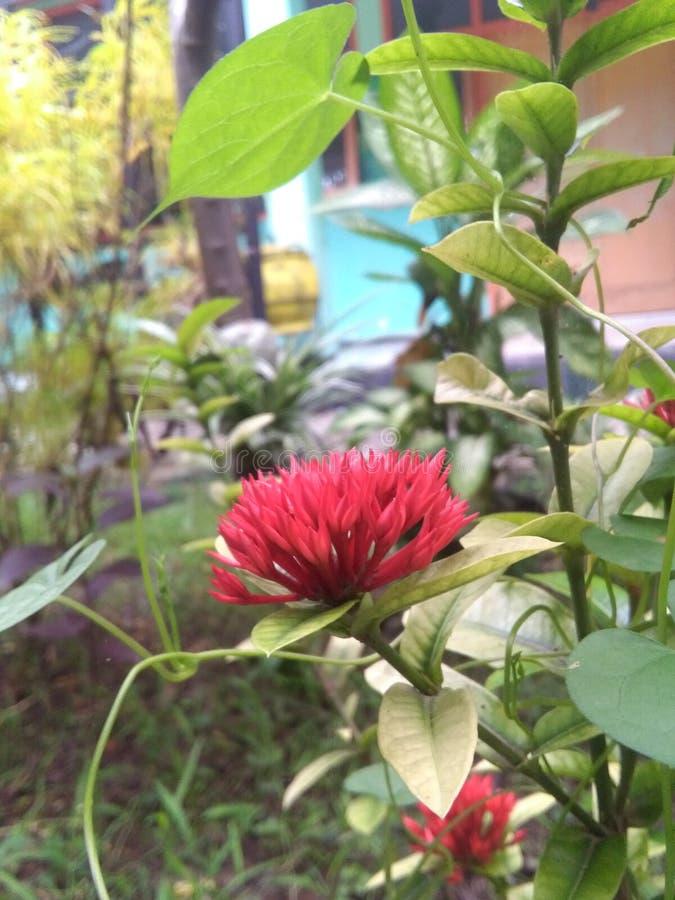 Τα κόκκινα λουλούδια ομορφιάς στοκ φωτογραφία