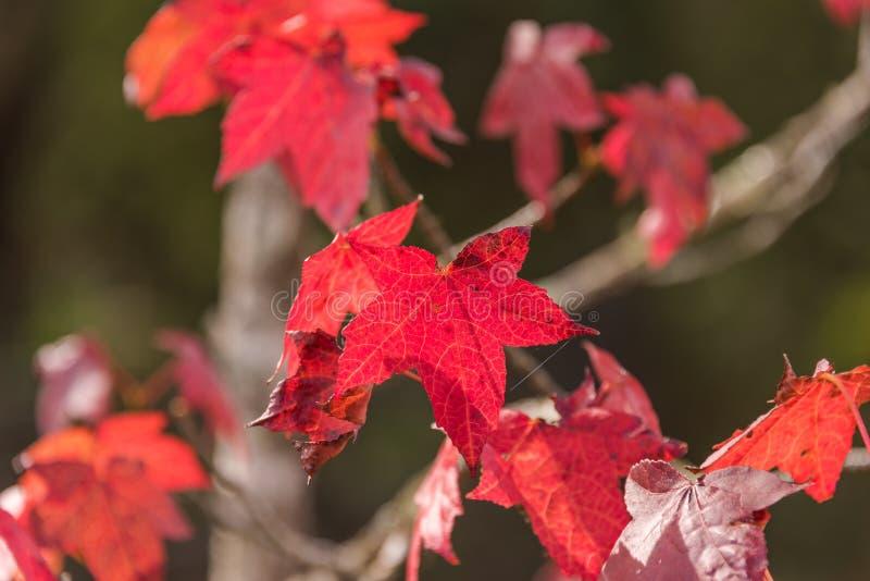 Τα κόκκινα φύλλα σφενδάμου φθινοπώρου κλείνουν επάνω το υπόβαθρο στοκ εικόνες