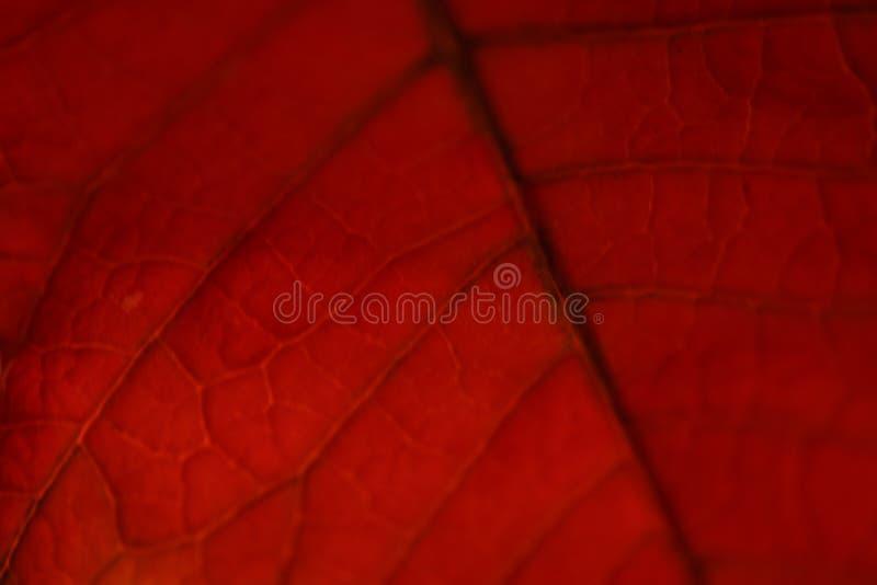 Τα κόκκινα Χριστούγεννα αυξήθηκαν zeranovice κηπουρικής στοκ εικόνα