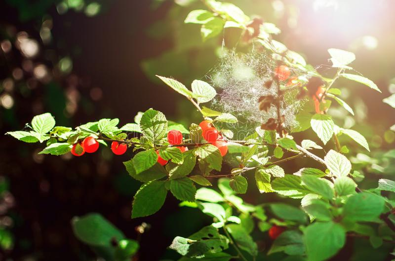 Τα κόκκινα ώριμα κεράσια κρεμούν σε έναν κλάδο Θερινή ανασκόπηση στοκ εικόνα