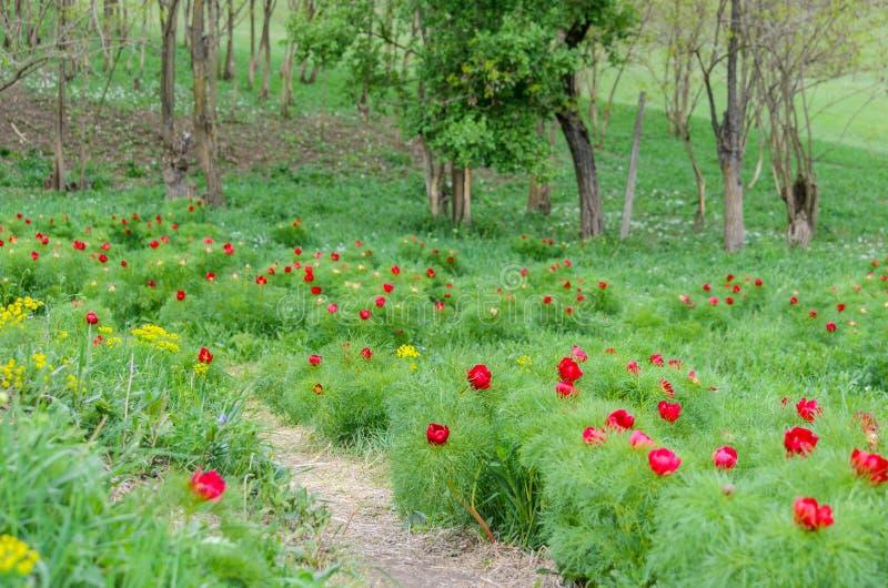 Τα κόκκινα peonies ανθίζουν στην επιφύλαξη στεπών Zau de Campie, νομός Mures, Τρανσυλβανία, Ρουμανία στοκ εικόνες