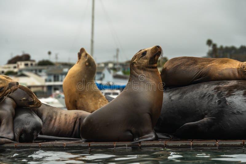Τα λιοντάρια θάλασσας κλείνουν επάνω, σφραγίζουν την αποικία σε μια επιπλέουσα αποβάθρα στοκ φωτογραφίες με δικαίωμα ελεύθερης χρήσης