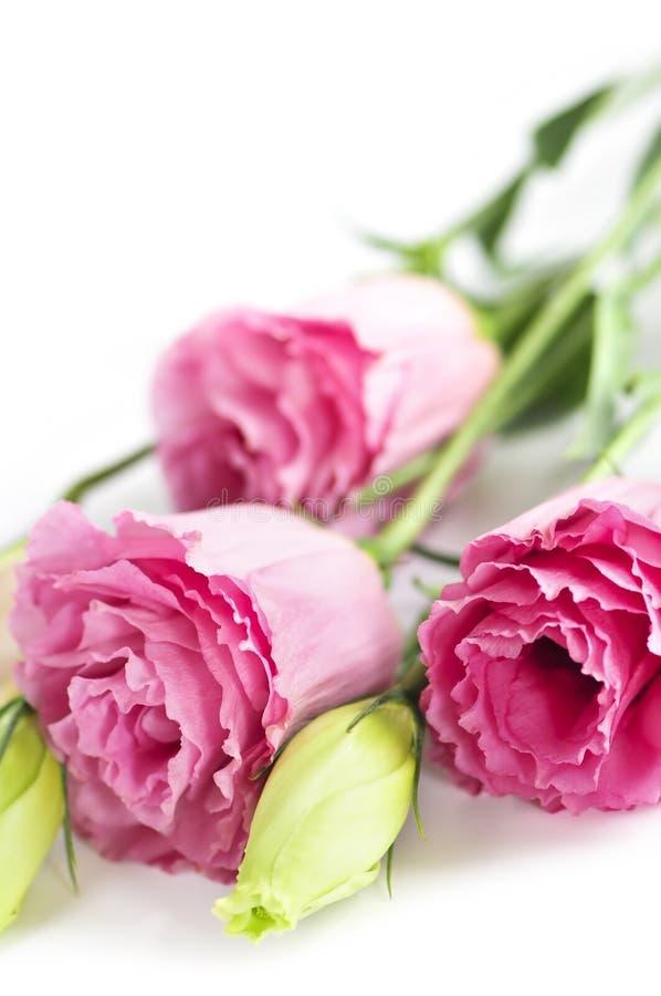 τα λουλούδια απομόνωσαν το ροζ στοκ εικόνες