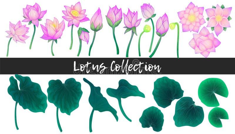 Τα λουλούδια κρίνων νερού, ο οφθαλμός ανθών και το χέρι φύλλων σύρουν τη μίμησης συλλογή απεικόνισης watercolor Απομονωμένα στοιχ απεικόνιση αποθεμάτων