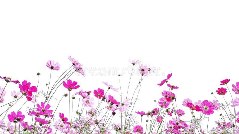 Τα λουλούδια κόσμου που ανθίζουν απομονώνουν στο άσπρο υπόβαθρο στοκ φωτογραφία με δικαίωμα ελεύθερης χρήσης