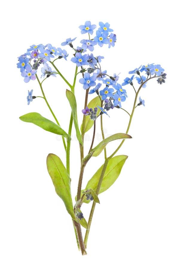 τα λουλούδια με ξεχνούν μη λευκό στοκ εικόνες