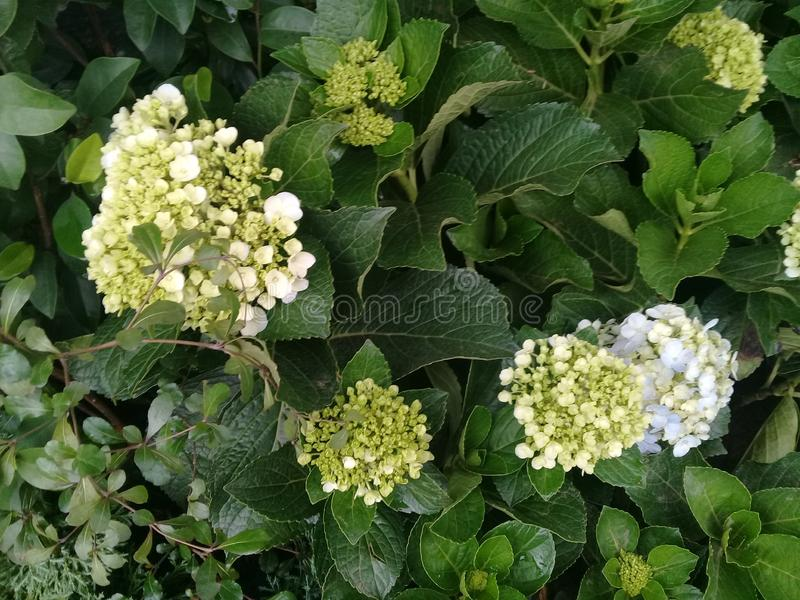 Τα λουλούδια της Hydrangea serrata, το κοντινό πλάνο εικόνα στοκ φωτογραφία